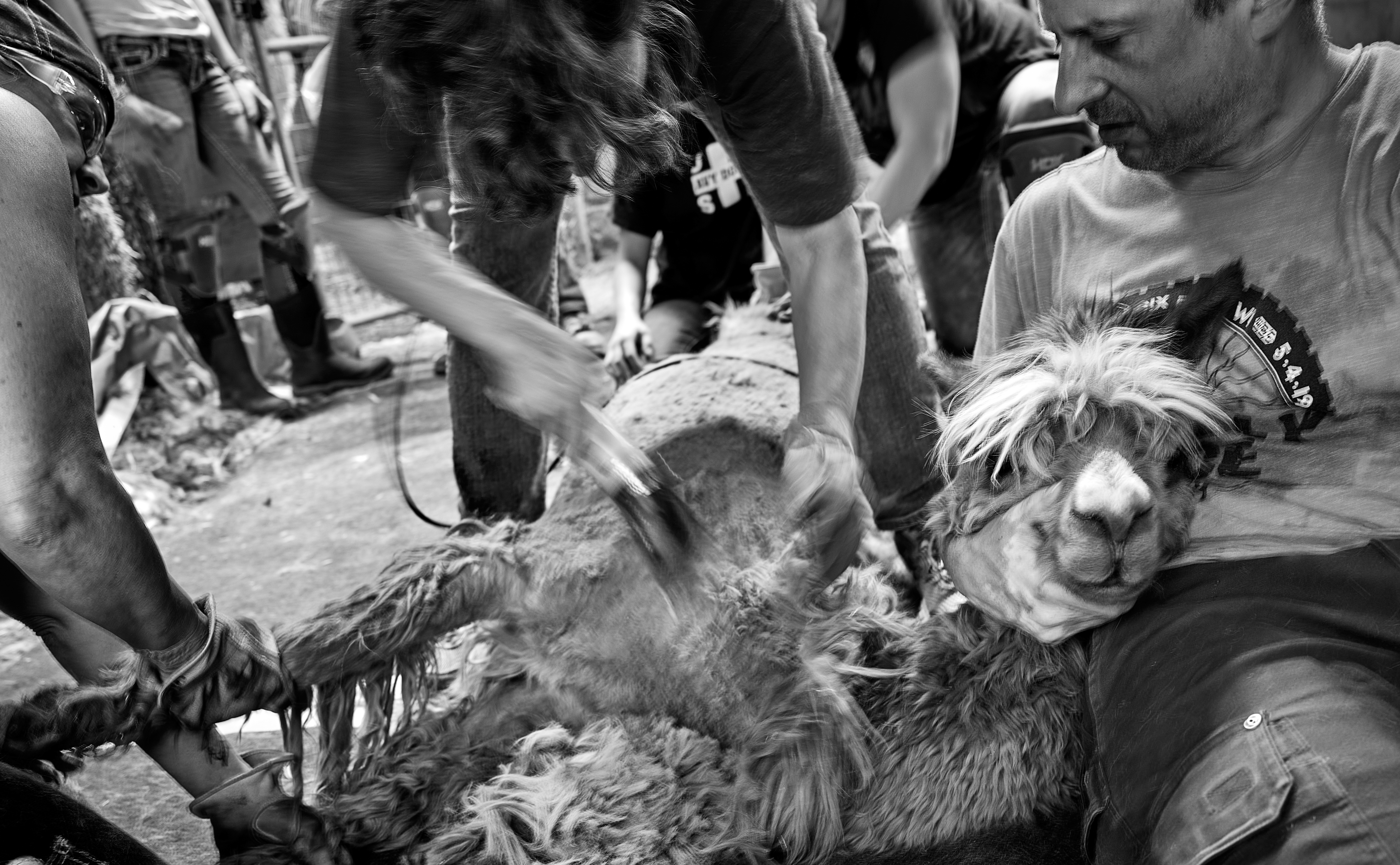 While it looks extreme, Wim gently rubs the alpaca into calmness.